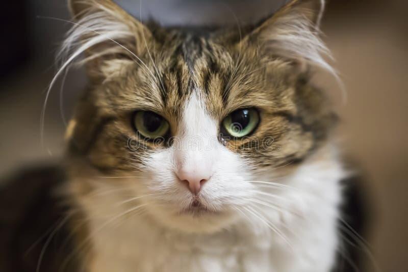 Domestic cat. Playful adorable domestic kitten closeup stock photo