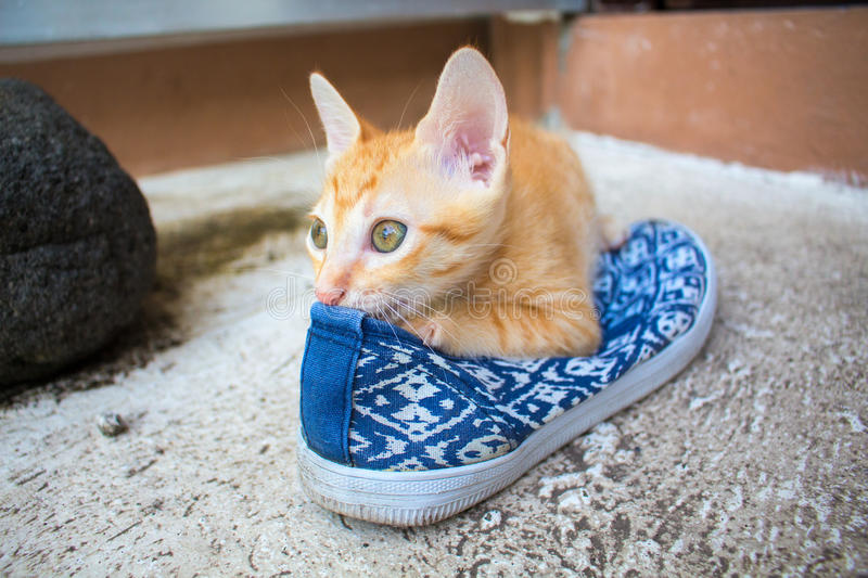 Domestic cat playing with the shoe. Red kitty dreams in the shoe. Cat spoiling clothes. Domestic cat playing with the shoe. Red kitten outside of the house royalty free stock photography