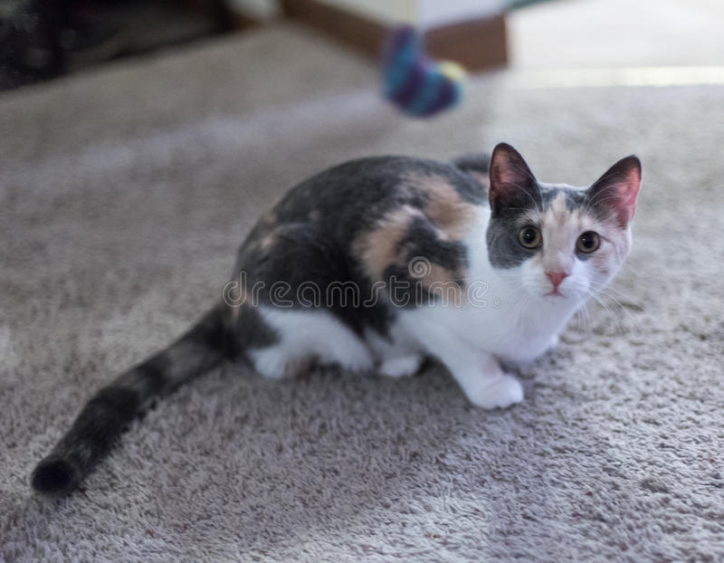 Domestic cat. In a room royalty free stock photo
