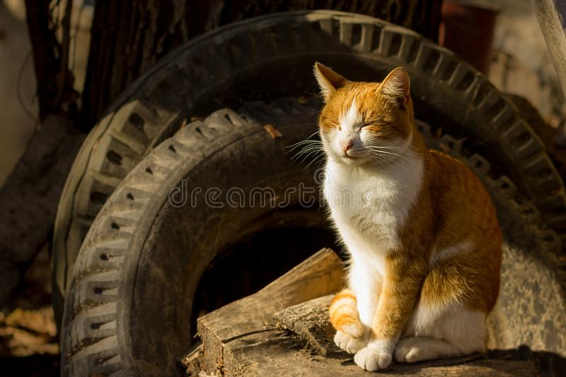 Felis catus, a domestic cat sits on the autumn sunset stock photography