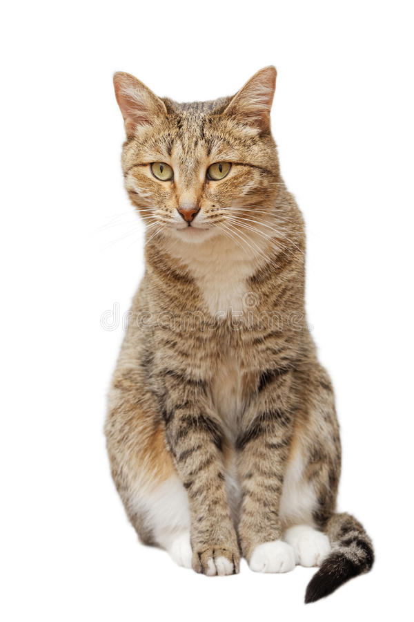 Domestic cat sits and looks straight ahead. Isolated on white royalty free stock image