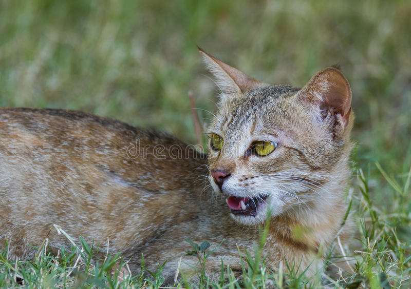Domestic cat. Sitting on the grass-land stock image