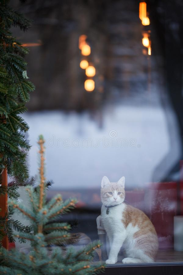 Domestic cat sitting in shop window. Adorable red cat stock image