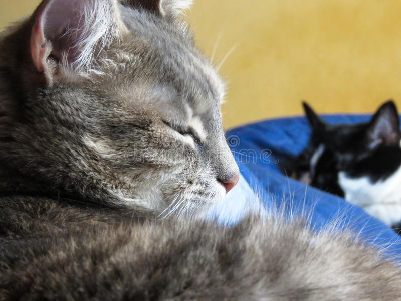 Domestic cat sleeping. Domestic cat is preparing for sleep, other cat sleeps in the background royalty free stock photo