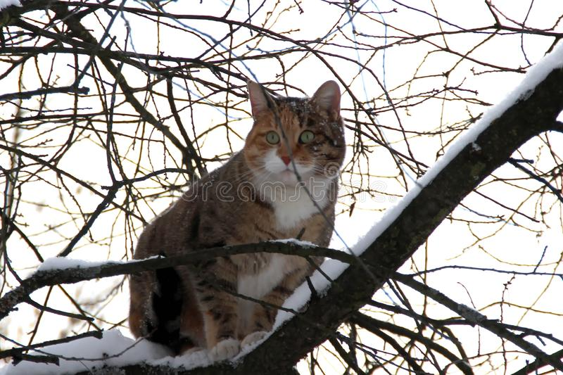 Domestic cat in the snow. The domestic cat climbed a tree and looked out into the distance stock photography