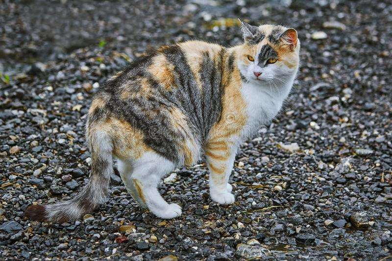Domestic Cat on Road. Domestic Cat Standing on the Gravel Road royalty free stock photography