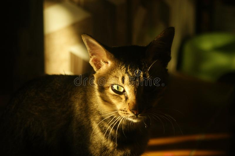 Cat staring at you. Domestic cat staring at you taken in indoor with clear sunset with blur background stock photo
