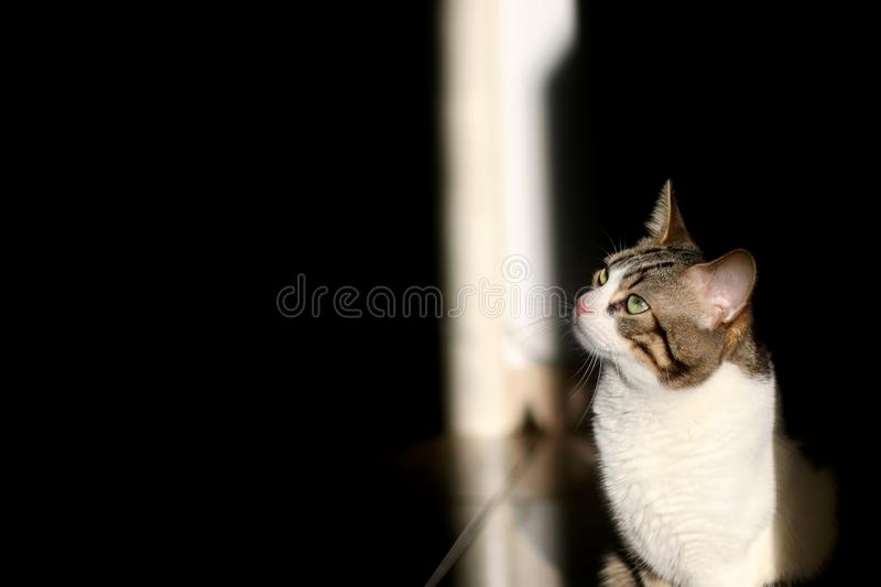 Domestic Cat. Domestic tabby cat illuminated by golden hour sunlight. High contrast between light and shadow royalty free stock image