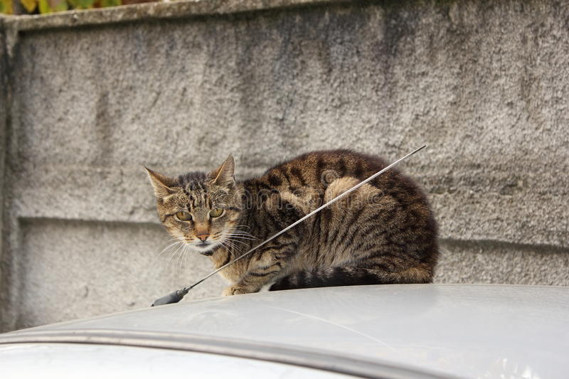 Domestic cat on top of a car stock photos