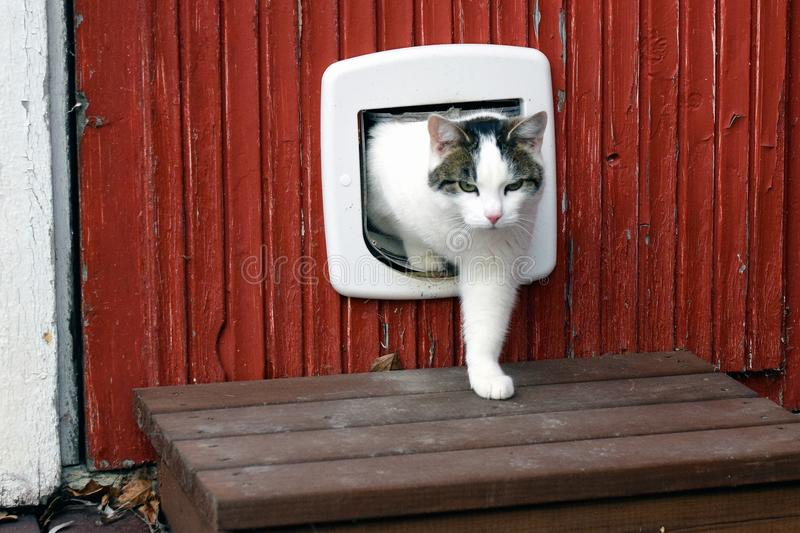 Domestic cat using cat flap. And comes out independently stock photography