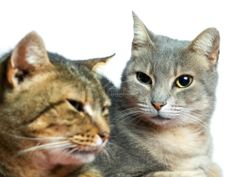 Download Domestic cats stock image. Image of look, portrait, gray - 17568775