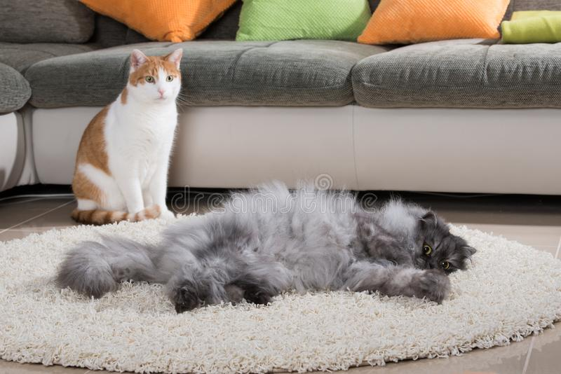 Domestic cats in a living room. And looking to the camera stock image