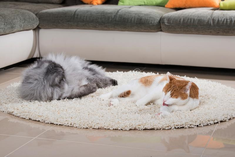 Domestic cats in a living room. And looking to the camera stock photography