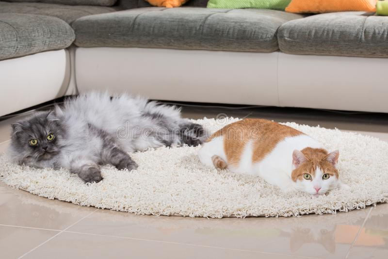 Domestic cats in a living room. And looking to the camera royalty free stock photo
