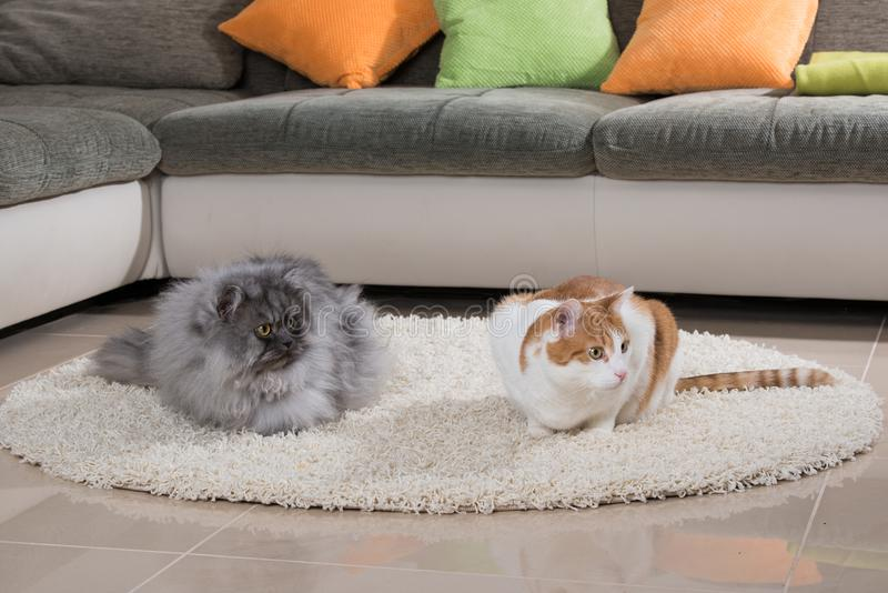 Domestic cats sitting in a living room. And looking to the camera stock photo
