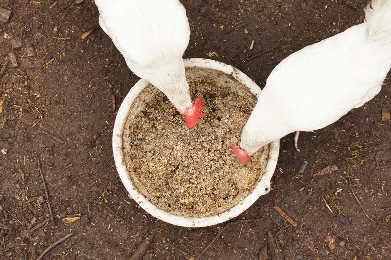 Domestic chickens. Are eating a food stock images