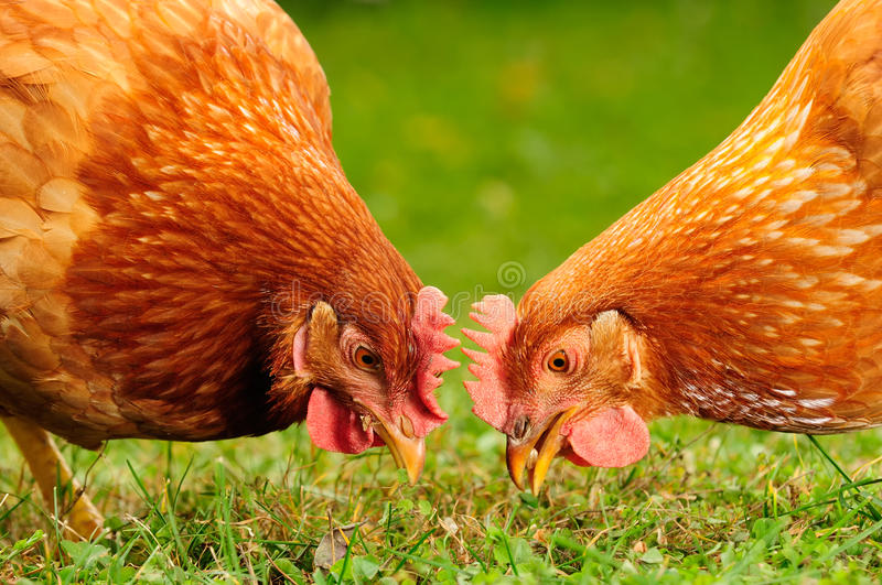 Domestic Chickens Eating Grains and Grass. Two red domestic chickens eating wheat grains and grass royalty free stock photography