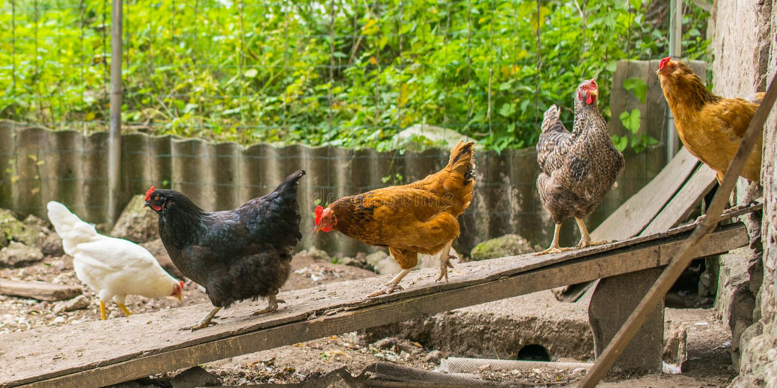 Domestic chickens walking in the backyard. Poultry coming out of. The barn for a walk stock photography