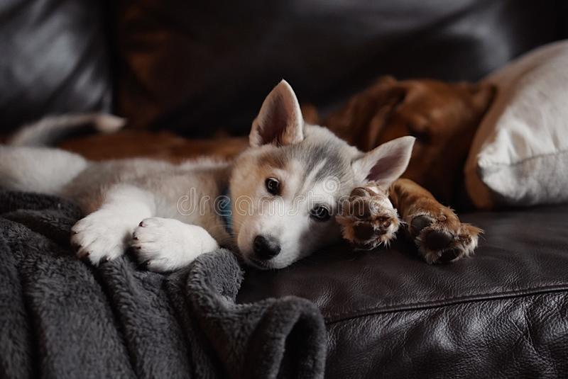 Domestic cute Czechoslovakian husky puppy laying with an adult Golden Retriever on a couch stock photos