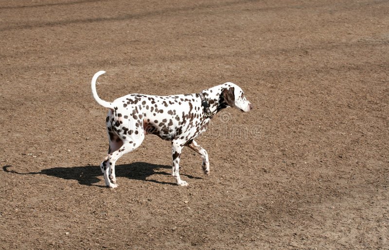 Domestic dog. Domestic chocolate colored dalmatian dog walking in a dog park royalty free stock photo
