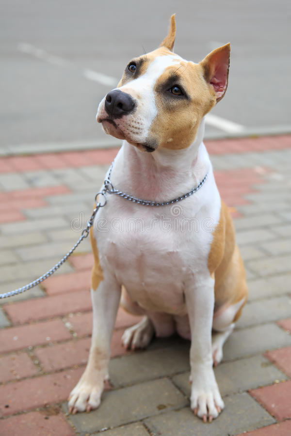 Domestic dog American Staffordshire terrier breed stock image