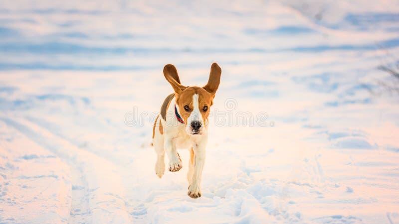Domestic Dog, Beagle, adult, running on snow covered field. Domestic Dog, Beagle, running on snow covered field stock photos