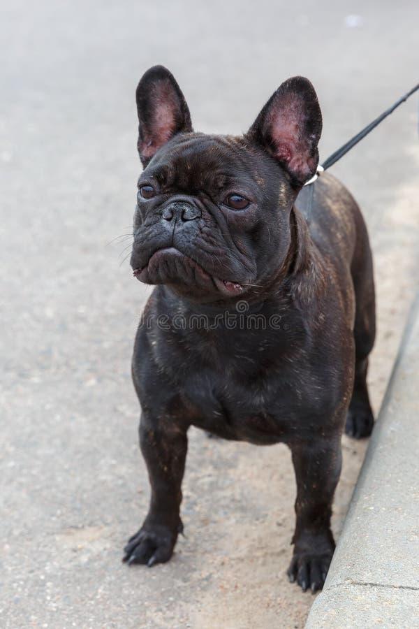 Domestic dog black French Bulldog breed standing royalty free stock photo
