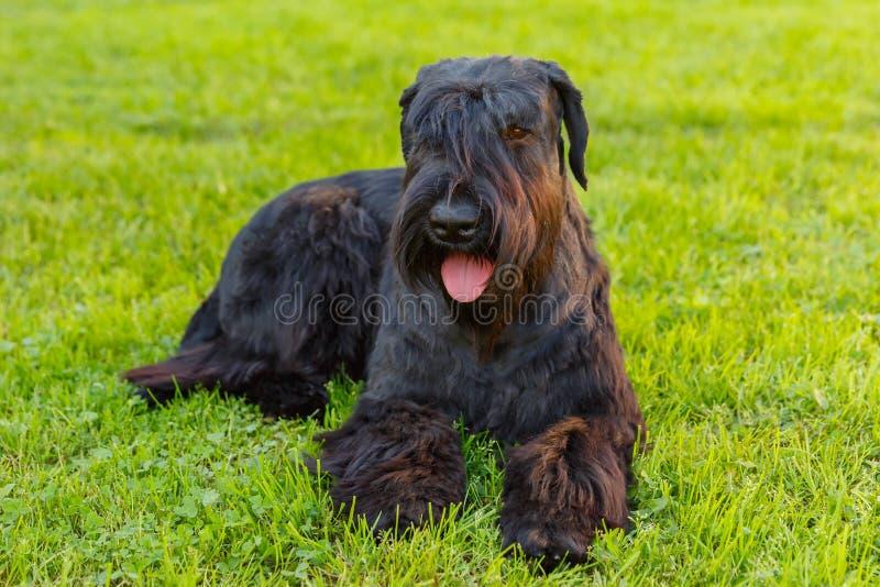 Domestic dog Black Giant Schnauzer breed royalty free stock image