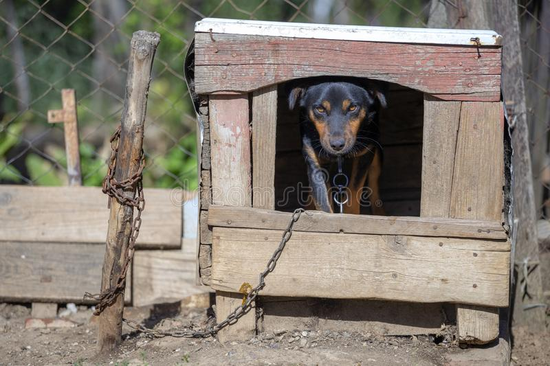 Domestic dog on chain stands in the dog house. And looking at camera stock images