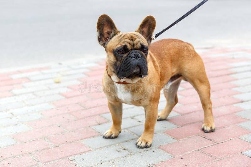 Domestic dog French Bulldog breed royalty free stock photo