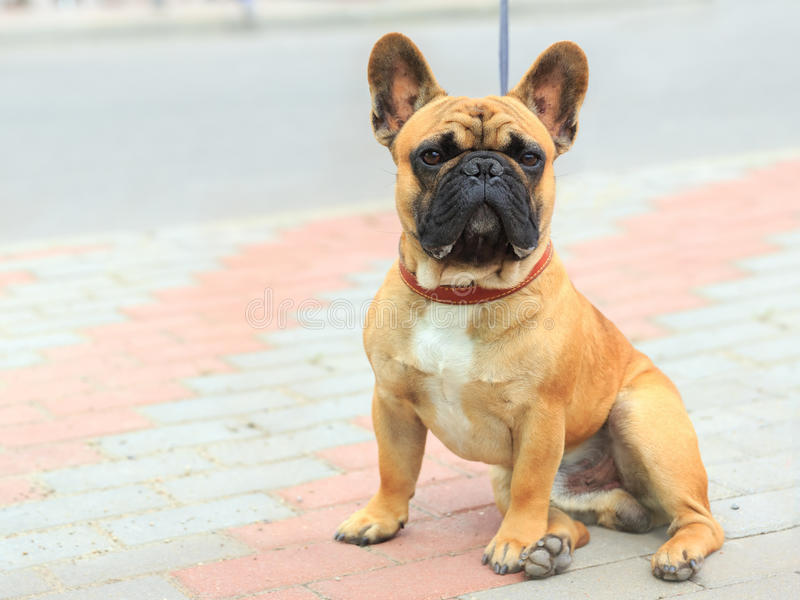 Domestic dog French Bulldog breed stock photos
