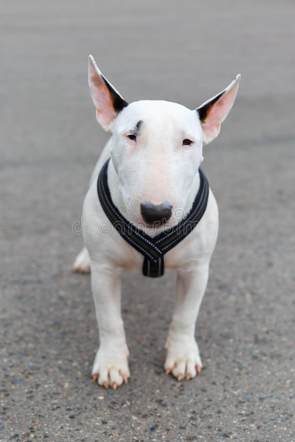 Domestic dog Miniature Bull Terrier breed stock photography