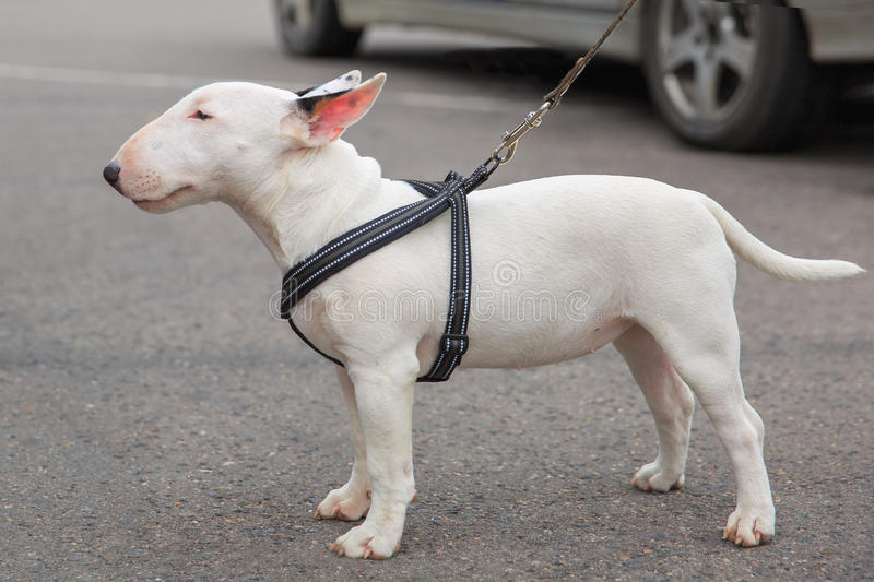 Domestic dog Miniature Bull Terrier breed royalty free stock photo