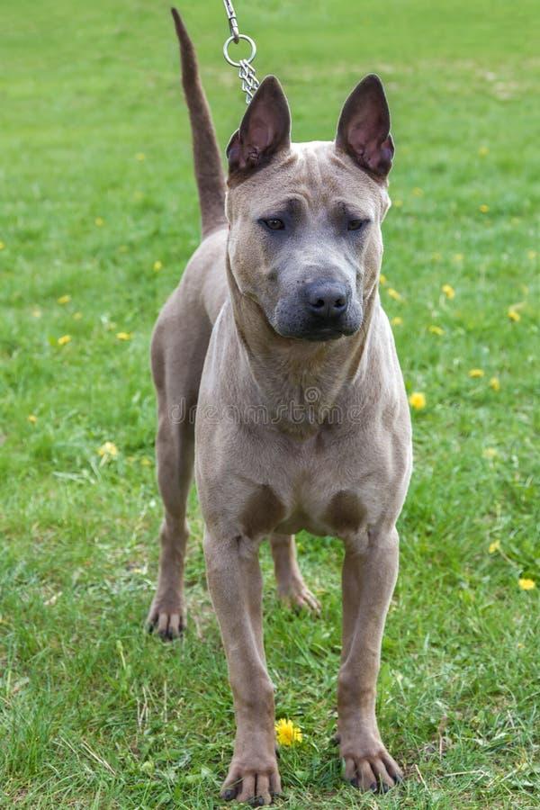 Domestic dog Rhodesian Ridgeback breed royalty free stock photo