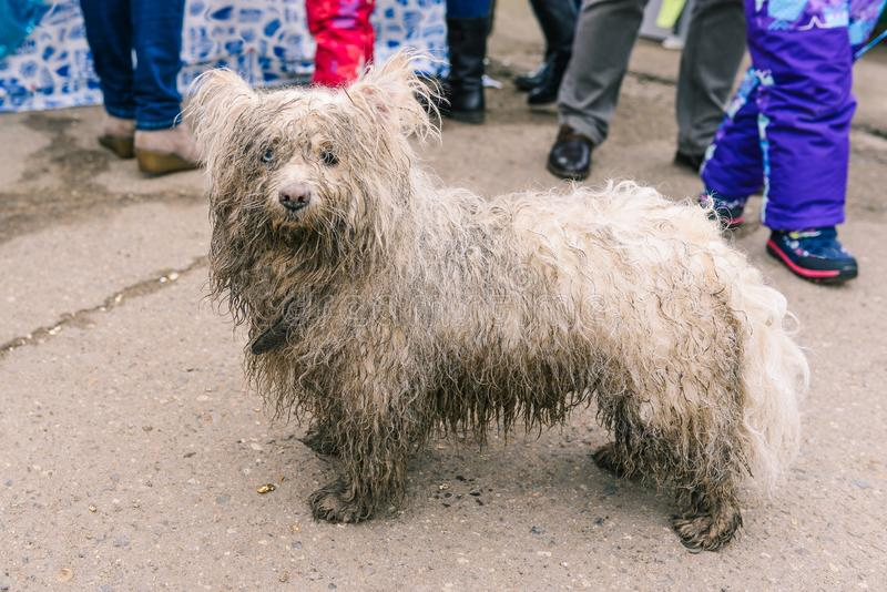 The domestic dog was lost in the city. The animal is looking for its home. Wet, dirty white dog close-up. Wet wool. The domestic dog was lost in the city. The stock photo
