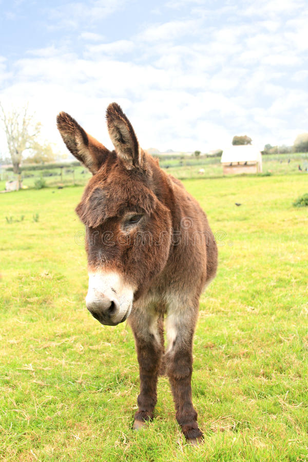 Download Domestic donkey stock image. Image of green, mouth, farmland - 16896185