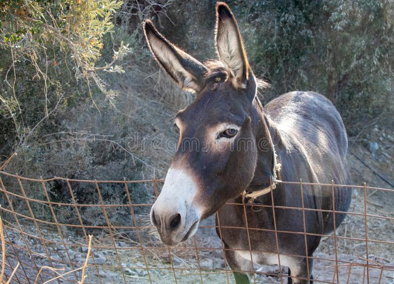 A Donkey on the Island of Naxos. A domestic donkey on the island of Naxos, Greece stock photos