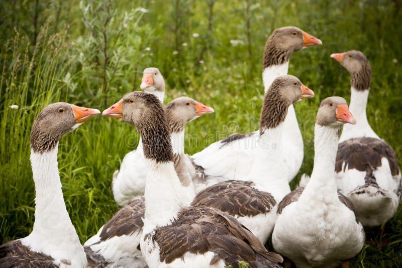 Domestic Ducks. Group of Domestic Ducks outdoor stock photo