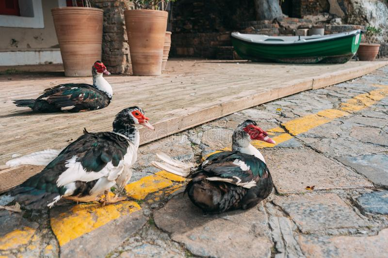 Domestic ducks in Greece walk on their territory. Black feathers and white neck, red beak, fat duck quite pacing royalty free stock photo