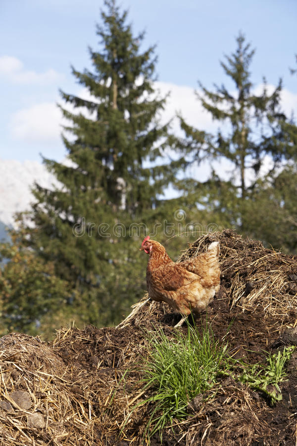 Domestic fowl royalty free stock image