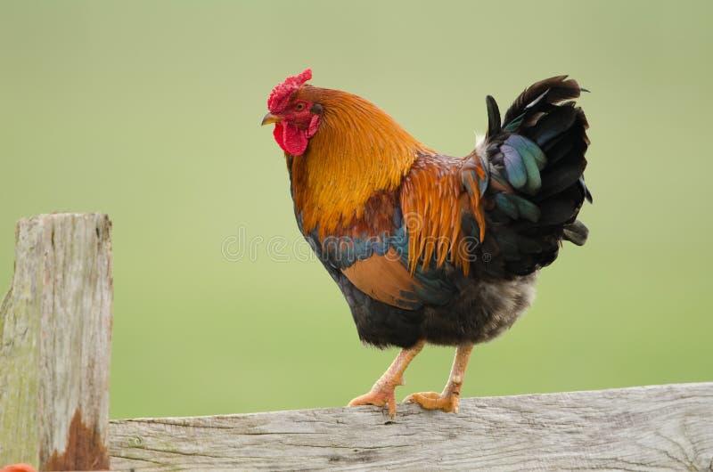 Domestic fowl. Free range rearing of domestic fowl stock photo