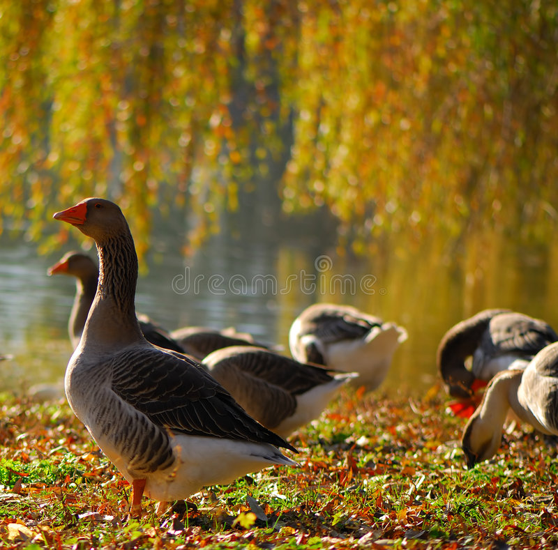 Domestic geese. On coast of reservoir in solar autumn day stock images