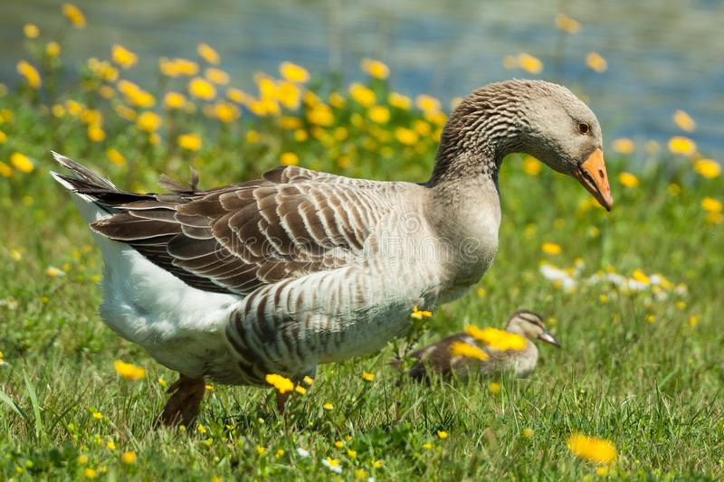Domestic Goose in the Wild. Domestic geese Anser anser domesticus or Anser cygnoides domesticus are domesticated grey geese either greylag geese or swan geese stock photos