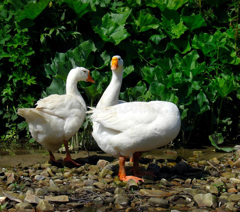 Domestic geese Anser anser domesticus  near the pond on a lovely summer day stock photos