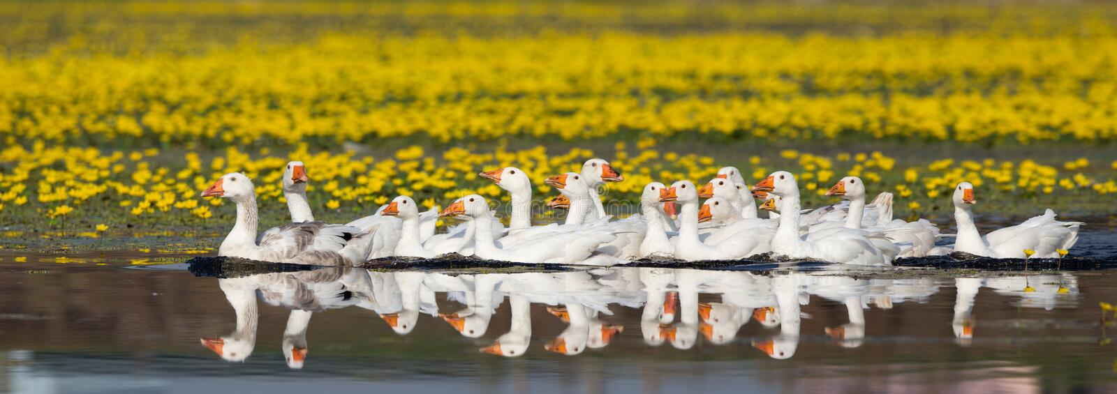 Domestic geese flock on the lake. Group of white domestic geese swimming on the lake with yellow flowers on meadow in background royalty free stock photography