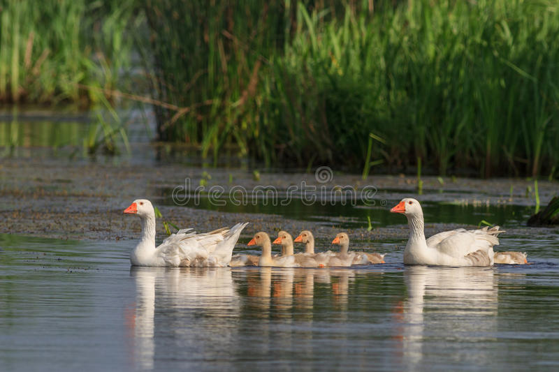 Domestic geese on the lake. Domestic geese with chicks swimming in the lake stock photos