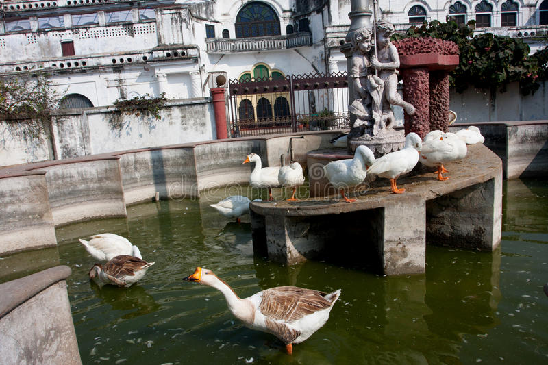 Domestic geese swimming in the old fountains stock photo