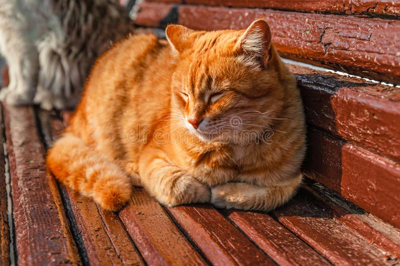 Domestic Ginger Cat Resting On Wooden Bench In Sunlight ...