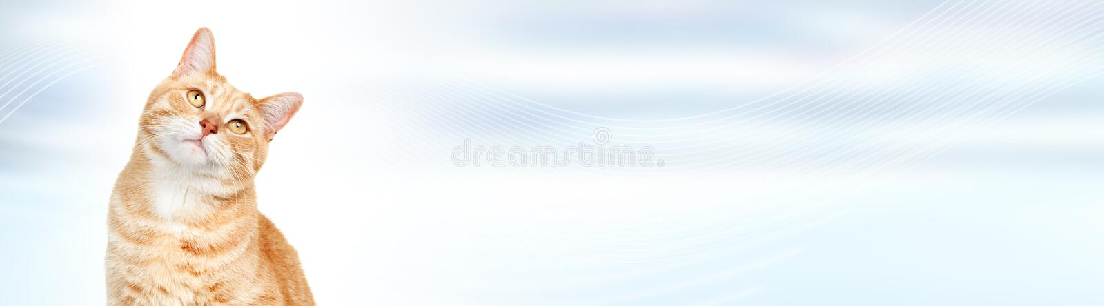 Cat. Domestic ginger pet cat over abstract blue background stock photography