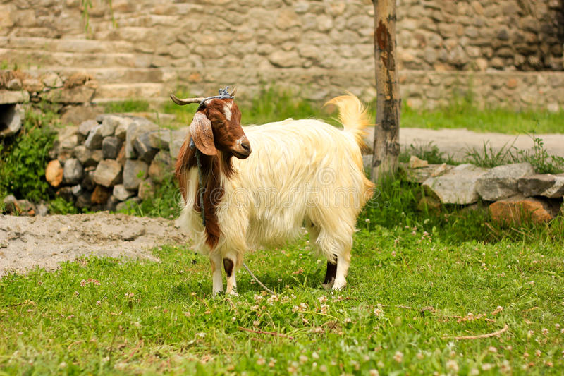 Domestic Goat royalty free stock photo